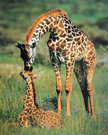 Amazoncom Eurographics Giraffe Mother Baby Love Kiss Print