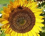 50 Giant Titan Sunflower Seeds Huge 24 inch Heads