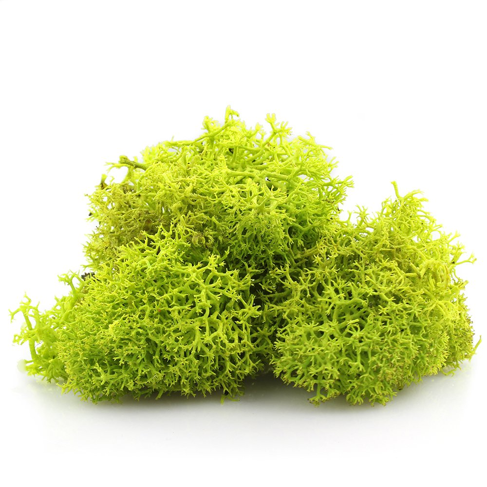 NW Wholesaler Preserved Reindeer Moss for Terrariums, Fairy Gardens, Arts & Crafts - 9 Colors to Choose From (Mango) NW Wholesaler Inc.