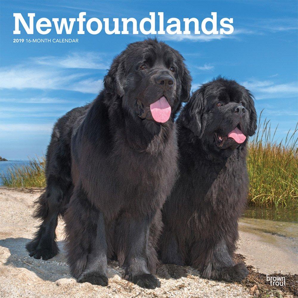 Newfoundlands 2019 Square Wall Calendar (Multilingual) Calendar – Wall Calendar, 1 Sep 2018 BrownTrout 1975400917 Animal Care Pets