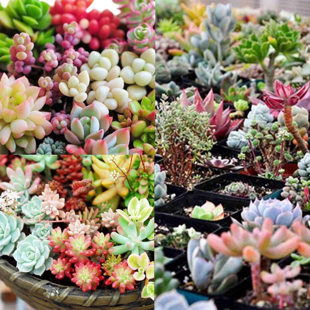 MelysUS 100 Pcs Mixed Succulent Anti-Radiation Fleshy Seeds Potted Flower Cacti & Succulents