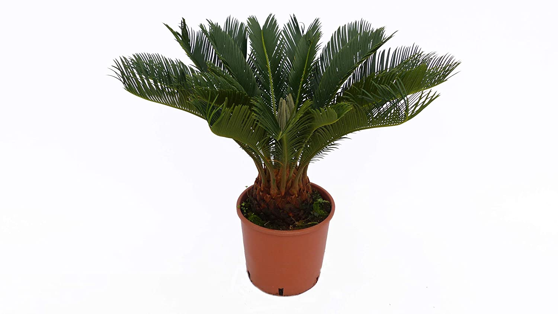 au/ßen innen L Palmfarn 50-75 cm Cycas Revoluta Sagopalme Palme