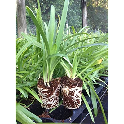 Agapanthus Lily of The Nile Qty 60 Live Plants Groundcover : Garden & Outdoor