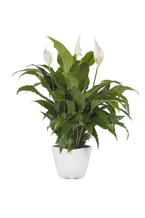 Pianta Vera Da Interno Giglio Della Pace Spatifillium Spathiphyllum