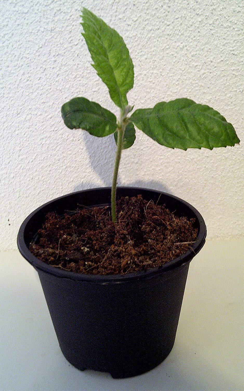 Japanische Wollmispel Eriobotrya japonica Mispel Pflanze 10cm Mispero Biwa Pipa