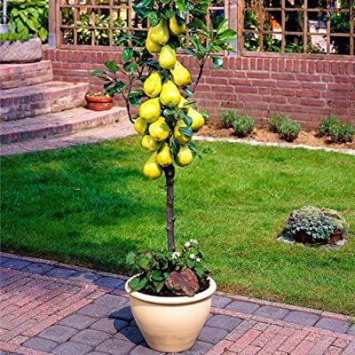 wpOP59NE 30/60Pcs Pear Tree Seeds Sweet Delicious Fruit Garden Yard Farm Bonsai Plant - 30pcs Pear Tree Seeds Plant Seeds : Garden & Outdoor