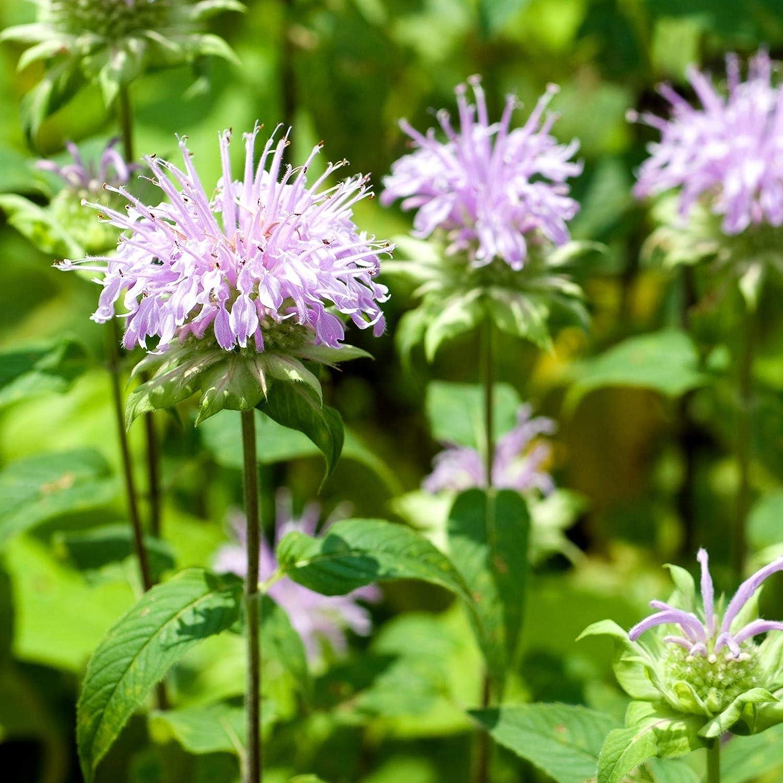 Lemon Bergamot Herb Garden Seeds - 1 Oz - Perennial Herbal Gardening Seeds - Open Pollinated - Monarda fistulosa