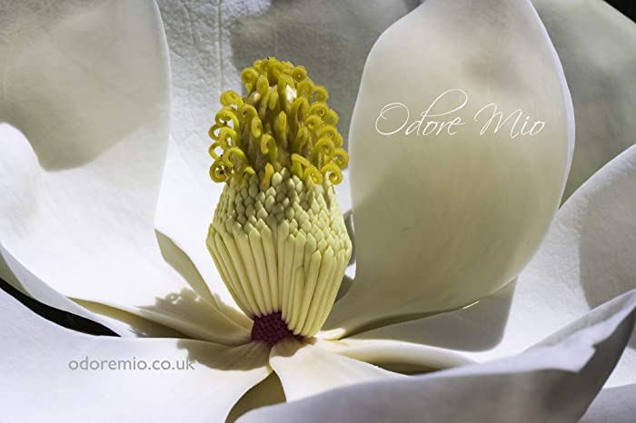 Odore Mio White Magnolia Eau De Cologne 50 Ml Unisex Fragrance