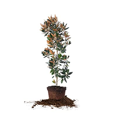 Little GEM Magnolia, Live Plant, Includes Special Blend Fertilizer & Planting Guide (4-5 FT) : Garden & Outdoor