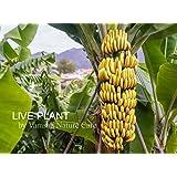 Vamsha Nature Care Live Assam Banana Malbhog That Bears Fruits in 18 Months