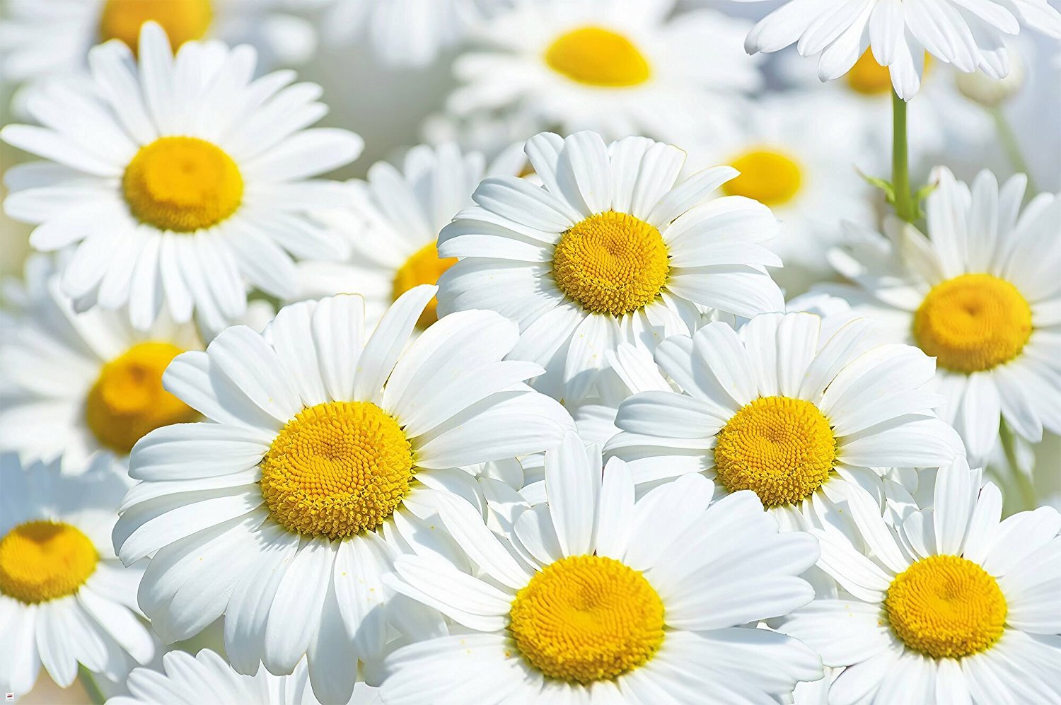 Daisies Flowers Meadow Wall paper Wall decoration by Great Art 55 Inch x 39.4 Inch 6104346