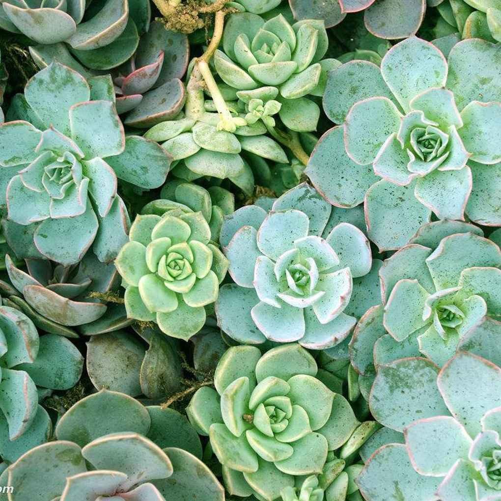 Fangfeen Blumensamen 100pcs / Beutel Sukkulente Samen für die Wohnzimmer-Hausgarten-Pflanzensamen