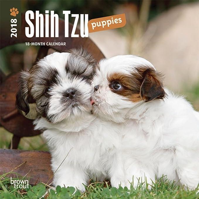 Amazoncom Shih Tzu Puppies 2018 Small Wall Calendar Office Products