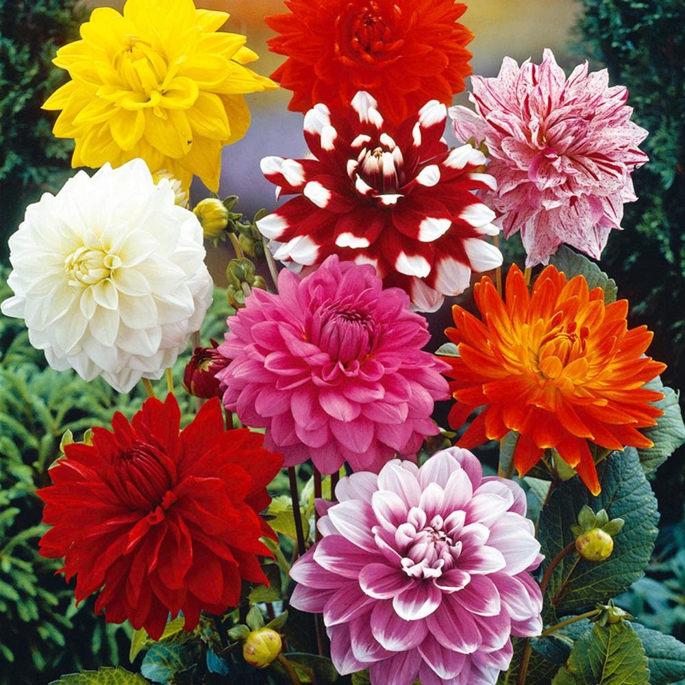 Amazon Com Dahlia Summer Elegance Mix 3 Tuber Giant Flowers