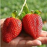 100Pcs Semi di Fragola gigante Pathonor , Fragola rosso gigante, semi di frutta per la casa e giardino semi bonsai