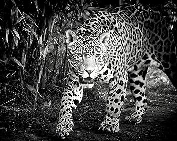 Advlook Pintando Niños Por Número Jaguar Blanco Y Negro Dibujo Para