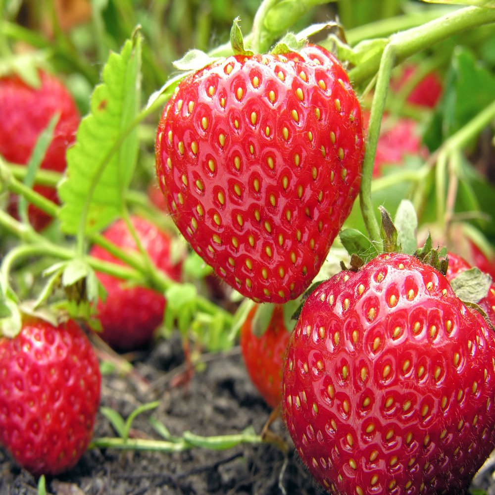 Fort Laramie Everbearing Strawberry Plants-Certified Disease & Virus Free - Bare Root Non-GMO Plants. (250 Plants) by Boston Road Farm Quality Strawberries