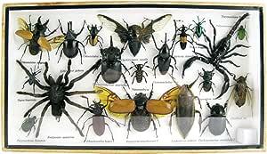 asiahouse24 - Exótico exótico Escarabajo Gigante, Insectos y ...