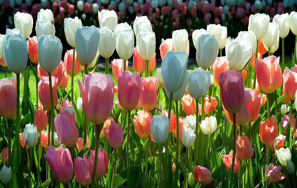 Tulpen verschiedene Farben - Saisonware - Zuchtqualität - 10 Zwiebeln