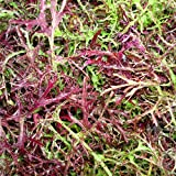 200 RED STREAKED MIZUNA MUSTARD Japanese Greens Brassica Juncea Vegetable Seeds