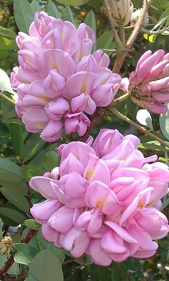 Rose acacia robinia hispida shrub or small tree fragrant pink rose acacia robinia hispida shrub or small tree fragrant pink flowers in june mightylinksfo