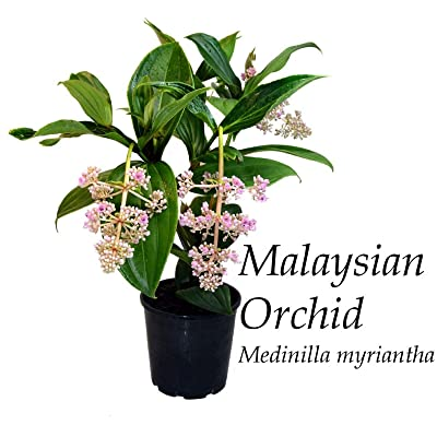 AchmadAnam - Live Plant ~Malaysian Orchid~ Medinilla myriantha Exotic Malaysian Grapes Small Potd : Garden & Outdoor