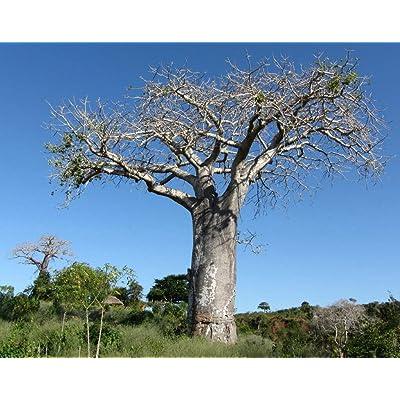 Adansonia Digitata - African Baobob - Rare Tropical Plant Tree Seeds (5) : Garden & Outdoor