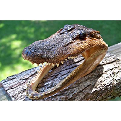 Gator Head 5-6 Inch Real Alligator Head by Unknown: Toys & Games