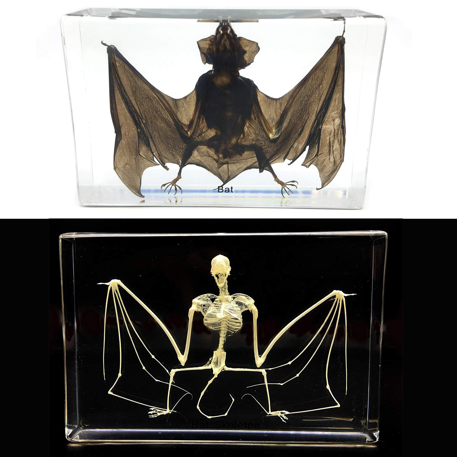2PCS Taxidermy Real Bat and Bat Skeleton Specimens Science Classroom Specimen for Science Education(5.3''x3.5''x1.4'')