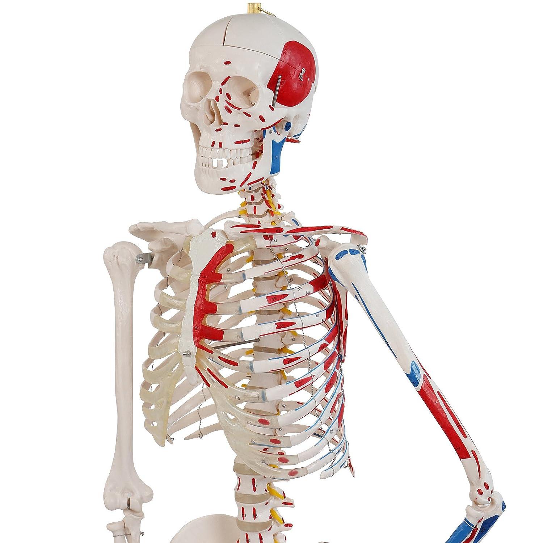 Menschliches Skelett Anatomie Modell Menschliches Skelett mit ...