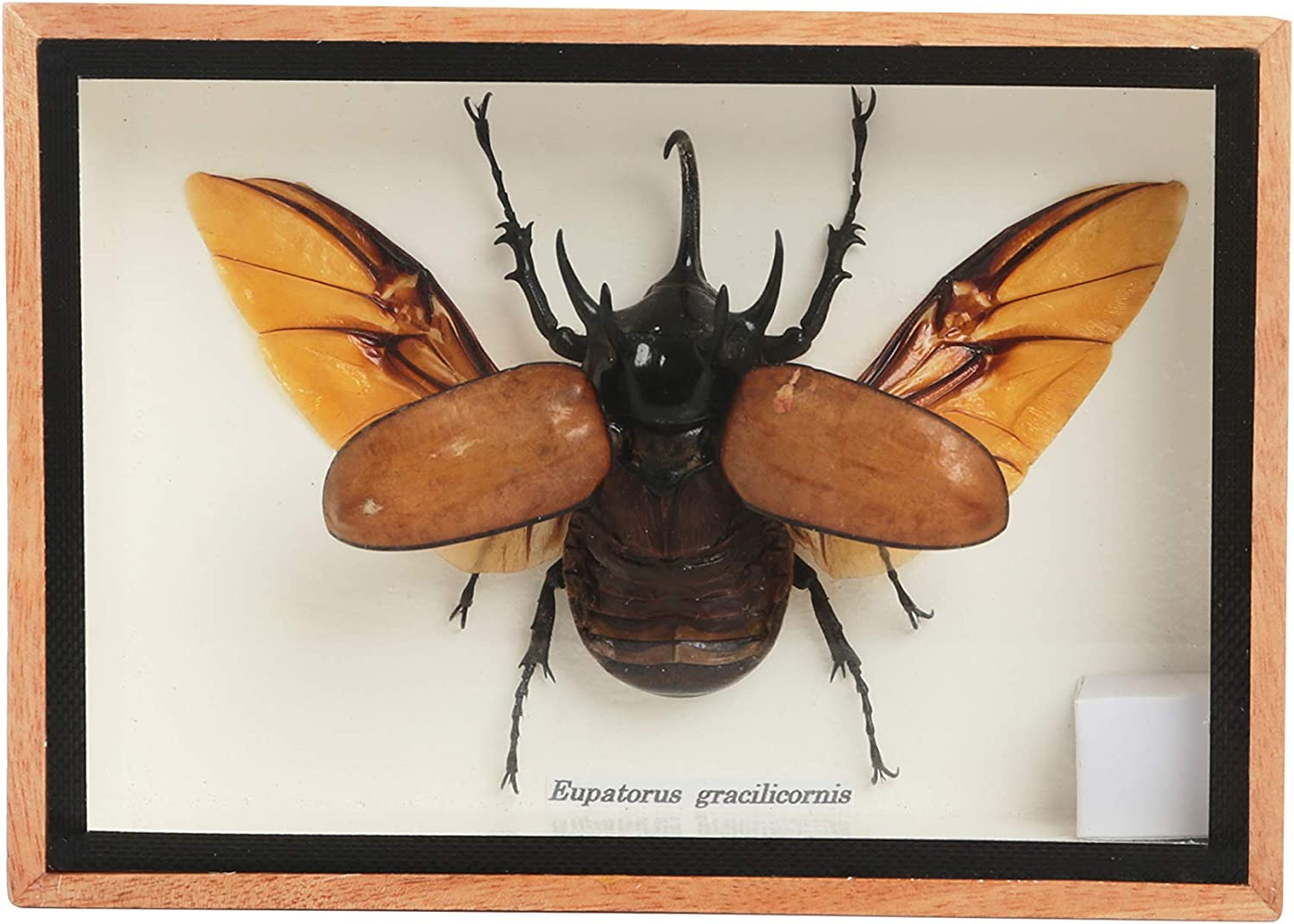 Real Exotic 3 Horned Atlas Fighting Beetle (Chalcosoma Atlas) Open Wings- taxidermy insect bug collection framed in a wooden box as pictured
