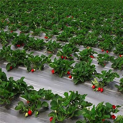 Gfones Climbing Strawberry Four Season Home Garden Balcony Fruits Decor Plants Seeds Flowers: Home Improvement