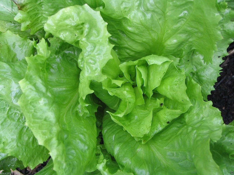 B146 Endive Broadleaf Batavian Heirloom Herb Seeds Choose Packet Size