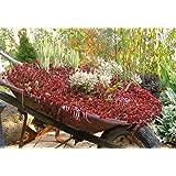"Sedum ""Dragon's Blood"" Ghost Plant 50 Seeds, Finger Aloe, Succulent Groundcover, Stone-crop"