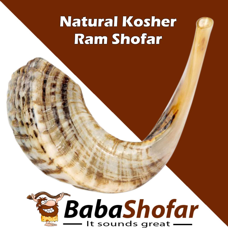 BabaShofar Ram Shofar Polished Natural Odorless Size 12
