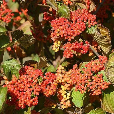 Tandoori Orange Viburnum Shrub - Very Hardy/Showy - Proven Winners : Garden & Outdoor