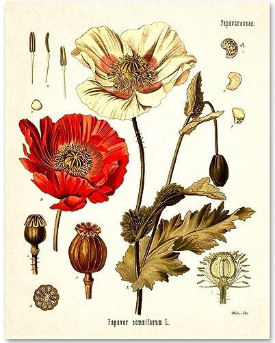 Amazon opium poppy plant 11x14 unframed art print handmade opium poppy plant 11x14 unframed art print mightylinksfo