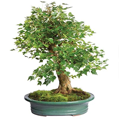 "Brussel's Live Trident Maple Specimen Outdoor Bonsai Tree - 45 Years Old; 25"" Tall with Decorative Container: Garden & Outdoor"