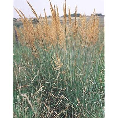 Risalana Ornamental Grass Seed: Indian Grass Seed 100 Seeds Fresh Seed USA Seller : Garden & Outdoor
