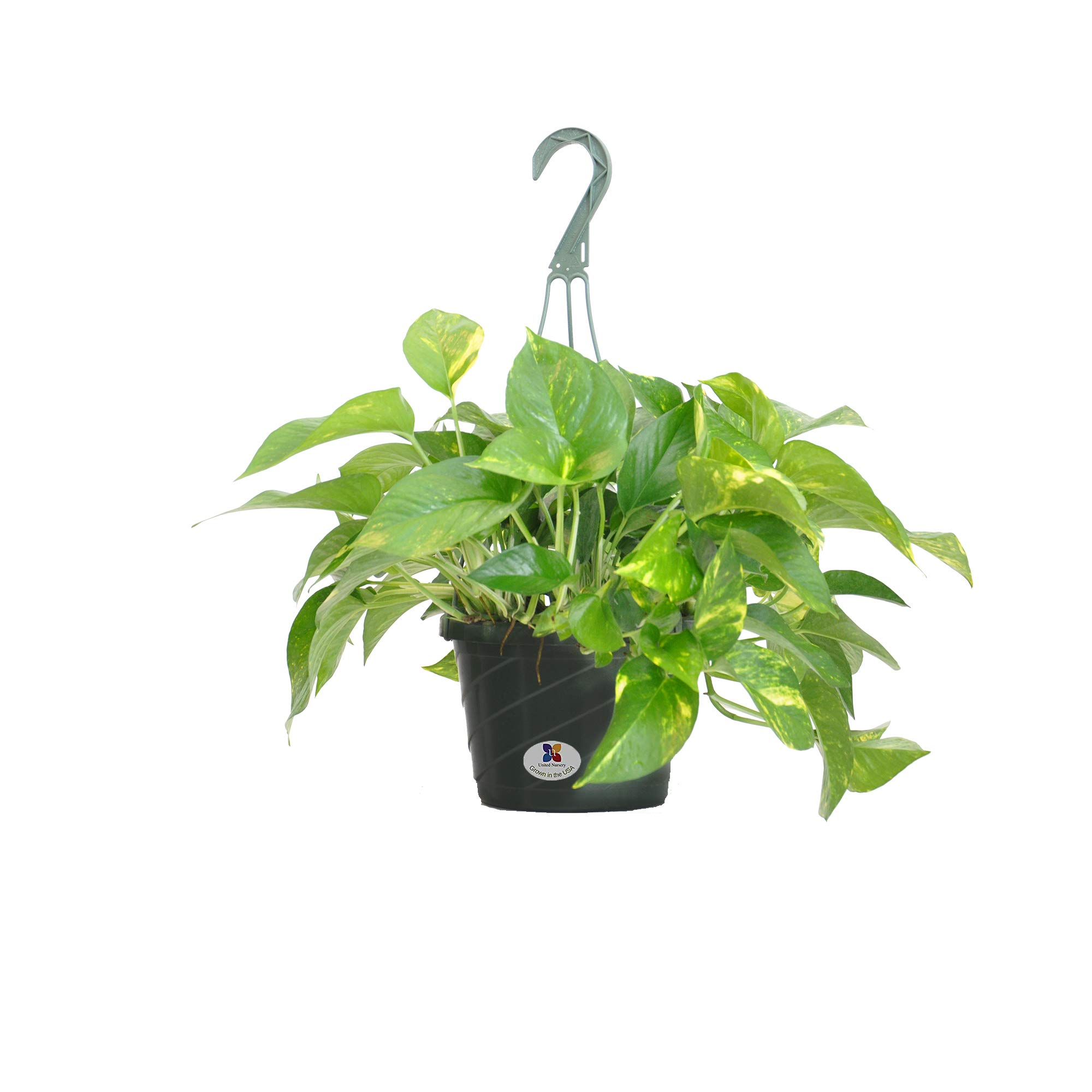 United Nursery Golden Pothos Epipremnum Aureum Devils Ivy Plant Live Indoor Outdoor Houseplant Ships in 8 Inch Hanging Basket 16-19 inches Tall by United Nursery