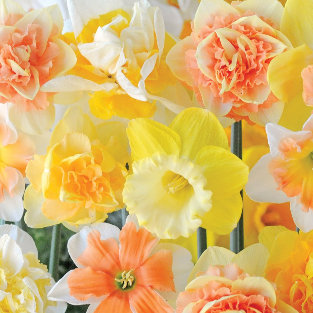Daffodil Mix Hardy Spring Bulbs Fragrant Flowers Spring Flowering