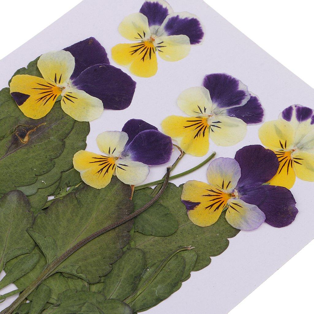 P Prettyia 16 Piezas Flores Naturales Prensadas y Secas Nomeolvides DIY Scrapbook Art Craft de Decoraci/ón de Pared