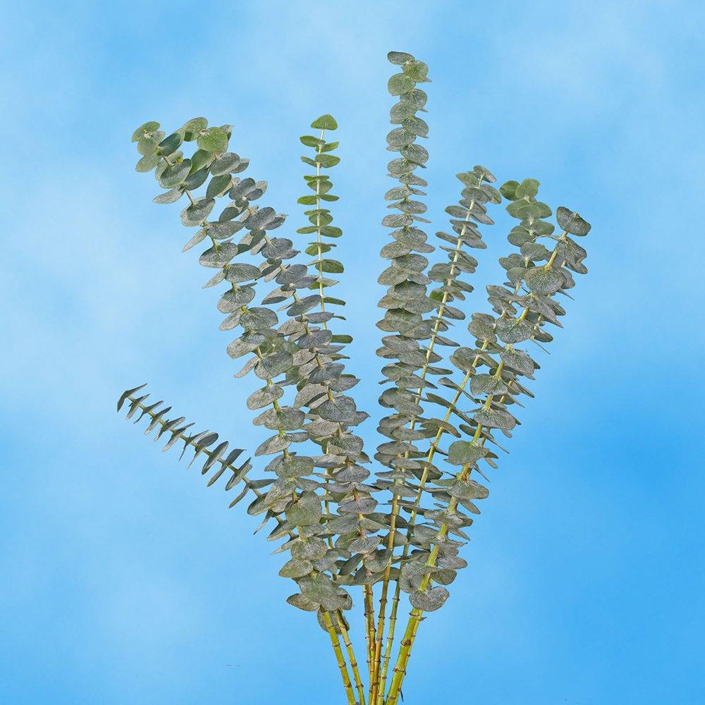 Amazon Globalrose 50 Fresh Cut Eucalyptus Flowers Fresh