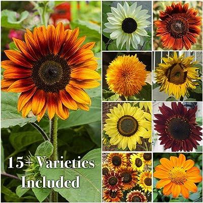 Escolourful 100pcs/Pack Mixed Sunflower Seeds, Sunflower Crazy Mixture 15+ Varieties Seeds for Home Garden Yard Plant : Garden & Outdoor