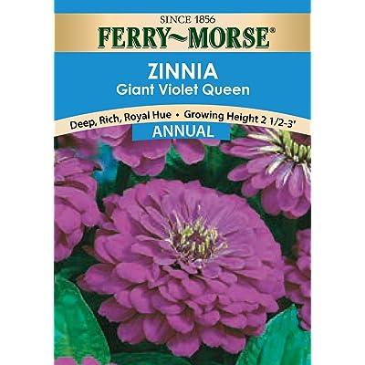 Ferry-Morse Zinnia Giant Double Flow Violet Queen Seeds (Annual) : Flowering Plants : Garden & Outdoor