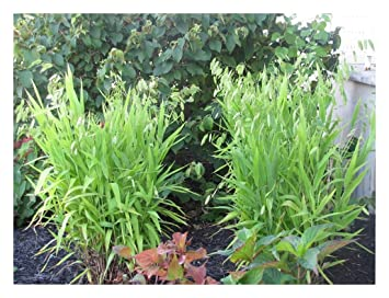 Platt/ährengras ab 3,19 pro St/ück 1 x Chasmanthium latifolium 1 Liter Ziergras//Gr/äser//Stauden