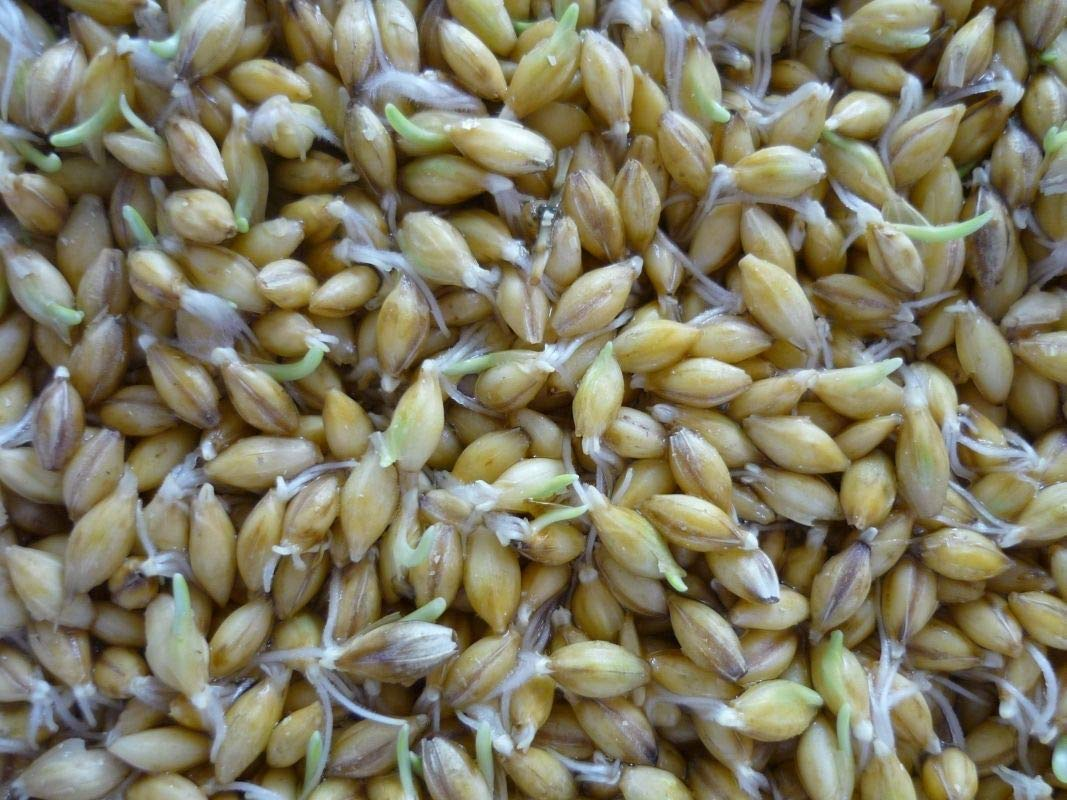 Organic Golden Flax Seed! - Grow Your OWN Sprouts!! Very Healthy For You!!!!!!(50 - Seeds)