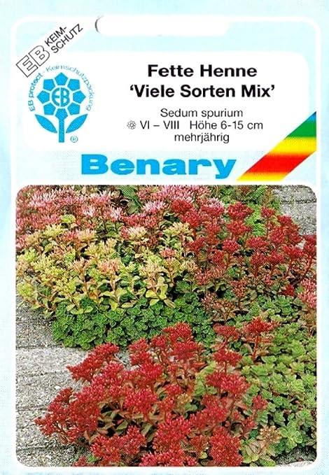 24 Pflanzen im 5//6 cm Topf Sedum spurium Tricolor