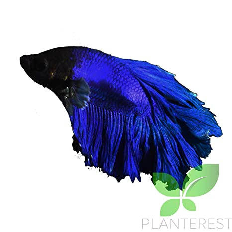 amazon com live aquarium betta fish male pure blue halfmoon ready
