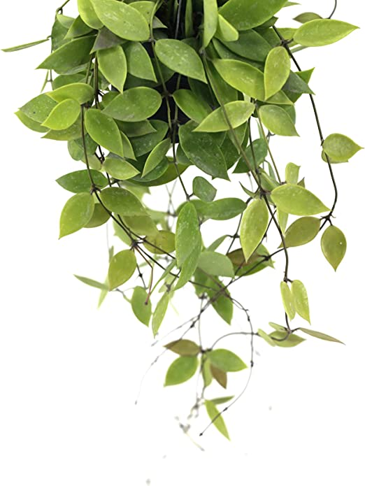 Hoya Pubicalyx 4X Unrooted Cuttings Succulent Houseseed e HATCHMATIC Germination Seeds